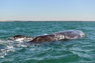 Baleines01
