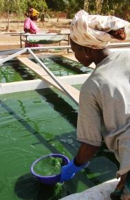 A Ouahigouya, les femmes commencent par filtrer l'eau pour obtenir un maximum d'algue. Ouahigouya, BURKINA FASO - 06/12/2005