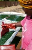 La recolte est terminee: l'algue apparait en quantite suffisante. Ouahigouya, BURKINA FASO - 06/12/2005