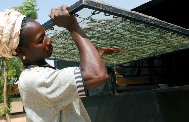 Les plagues de filaments de spiruline fraiche sont placees dans des sechoirs naturels [fonctionnant a la seule chaleur du soleil] pendant le reste de la journee. Ouahigouya, BURKINA FASO - 06/12/2005